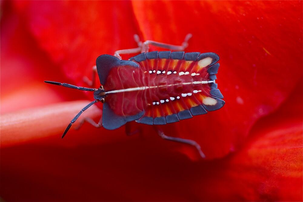Thai stink bug by John Spies