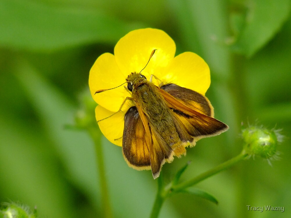 Skipper Moth On A Buttercup by Tracy Wazny