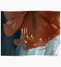 Amaryllis Up Close Poster