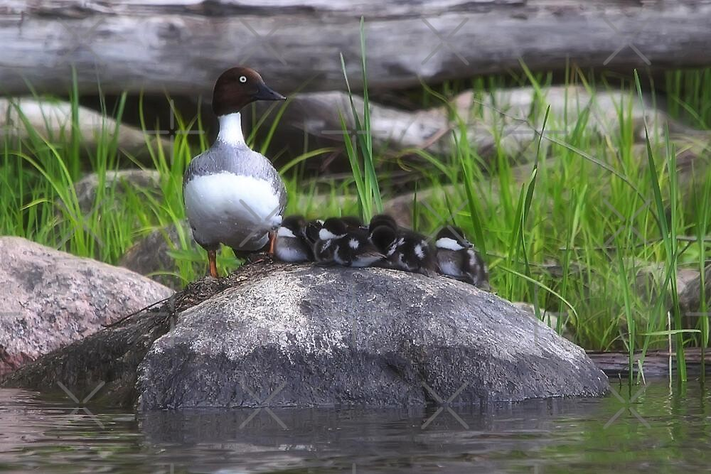 Common Goldeneye and Her Brood by Vickie Emms