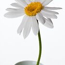 White Chrysanthemum 1 by Jacinthe Brault