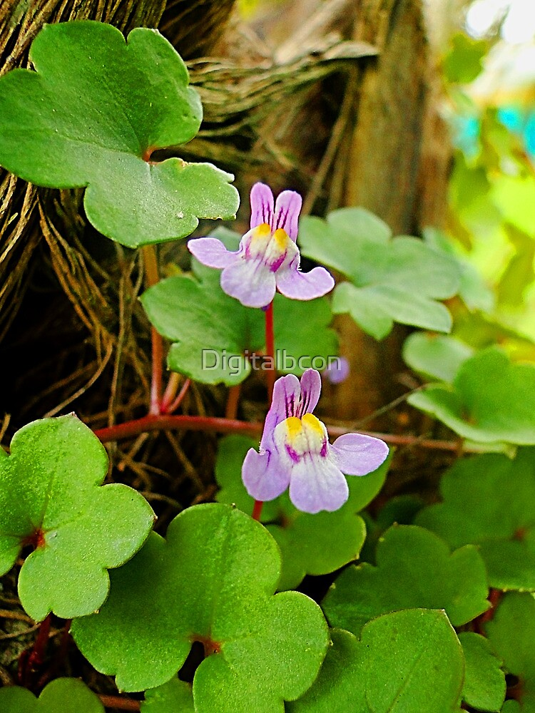 Ivy-leaved Toadflax - Cymbalaria muralis by Digitalbcon