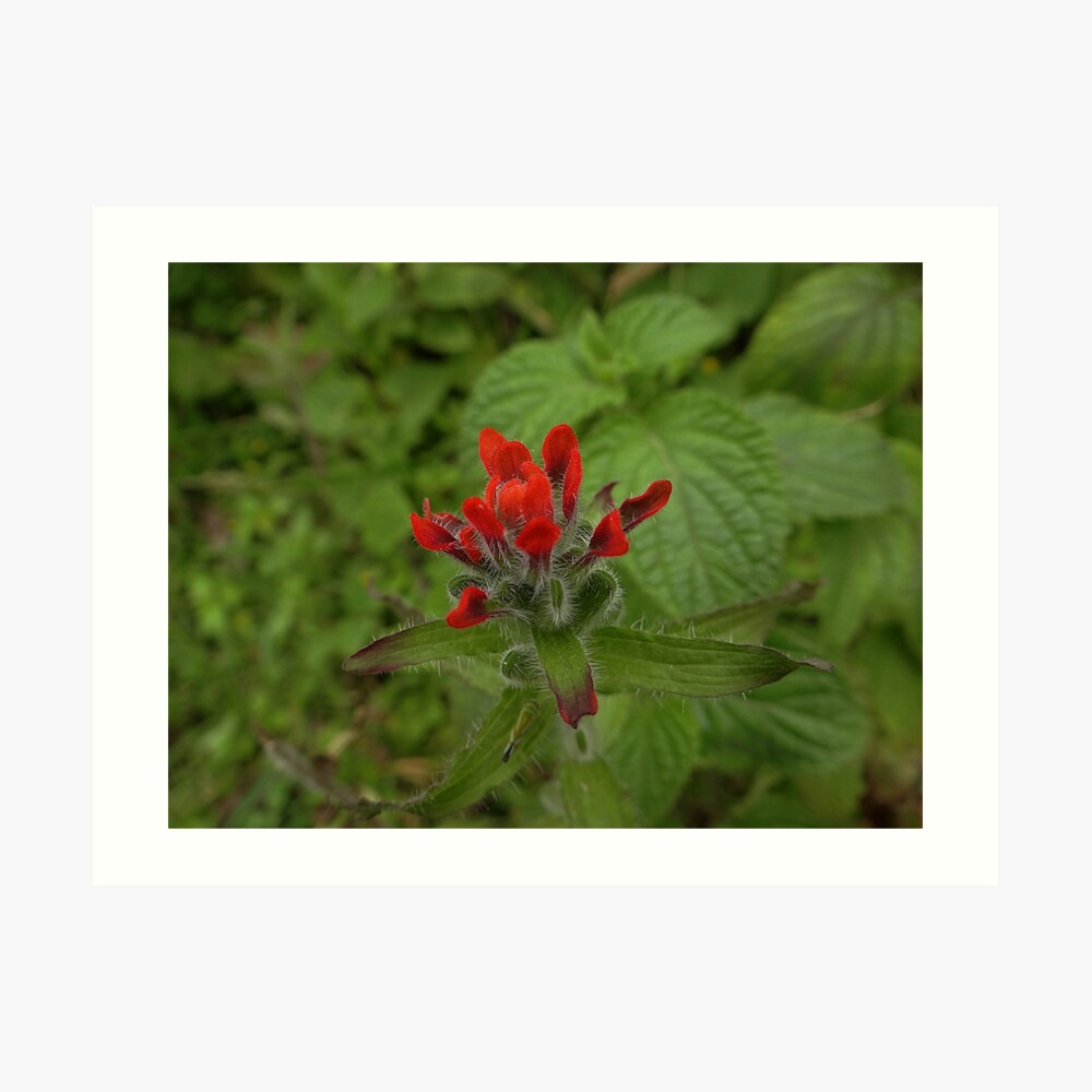 Indian Paintbrush - Castilleja Kunstdruck
