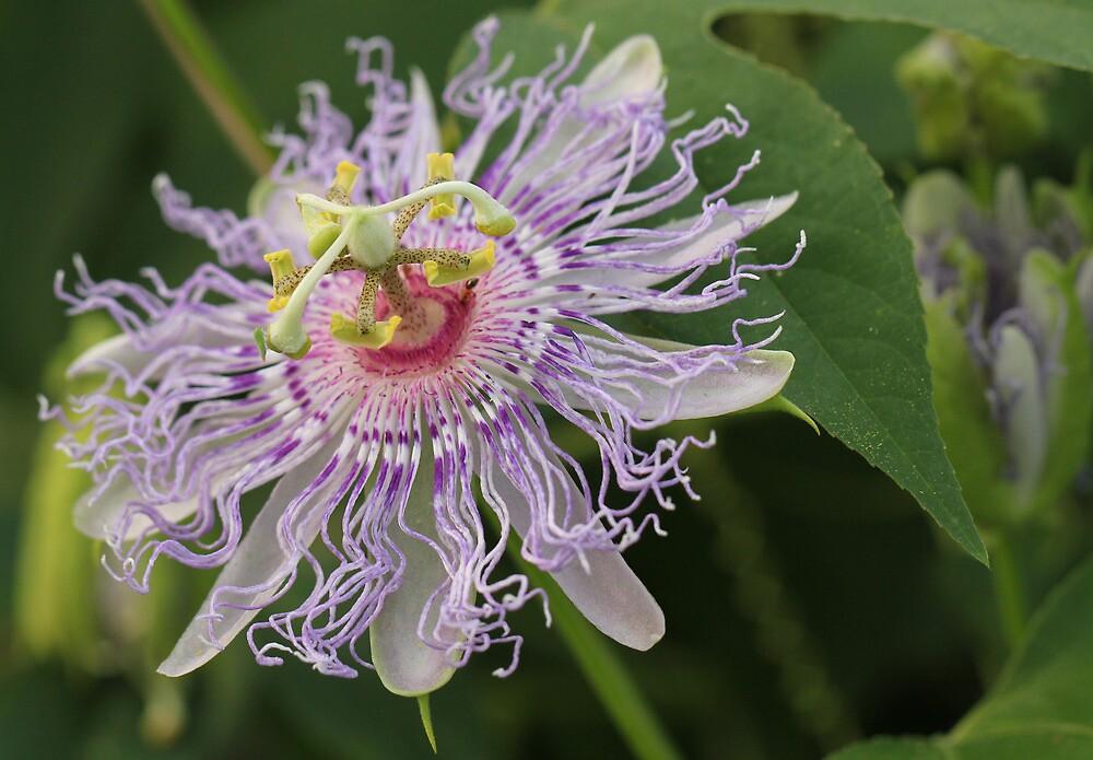 Passion Flower Macro by Lynn Gedeon