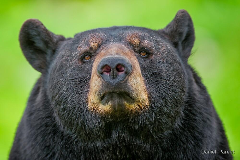 Bear Stare by Daniel  Parent