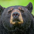 Bear Stare by Daniel  Parent