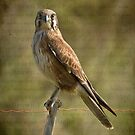 Brown Falcon by Barb Leopold