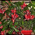 Christmas Cactus by Sandra Lee Woods