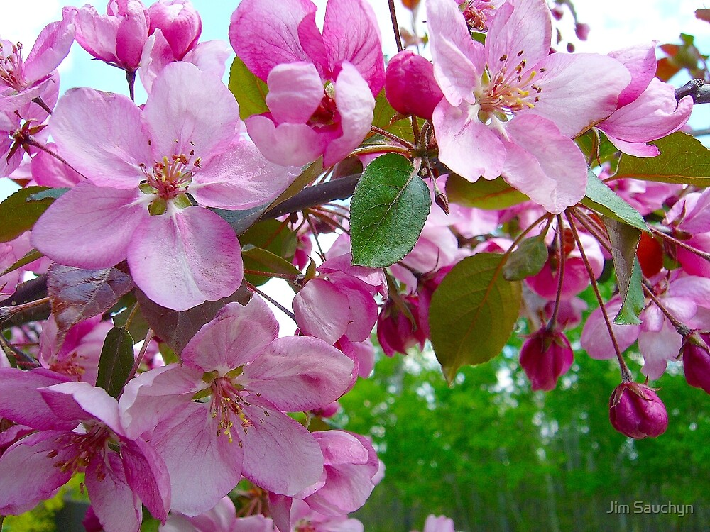 Apple Blossoms by Jim Sauchyn