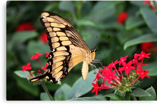 Giant Swallowtail - Papilio cresphontes by Lepidoptera
