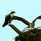 Osprey Landing by Jim Sugrue