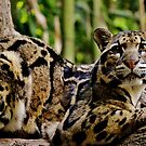 A Male Clouded Leopard by Eileen Brymer