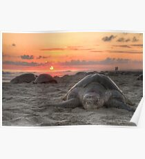 Turtle and Sunset Poster
