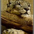 Snow Leopard by Gregory Colvin