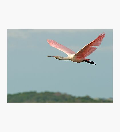 Spoonbill flys off into the sunset Photographic Print