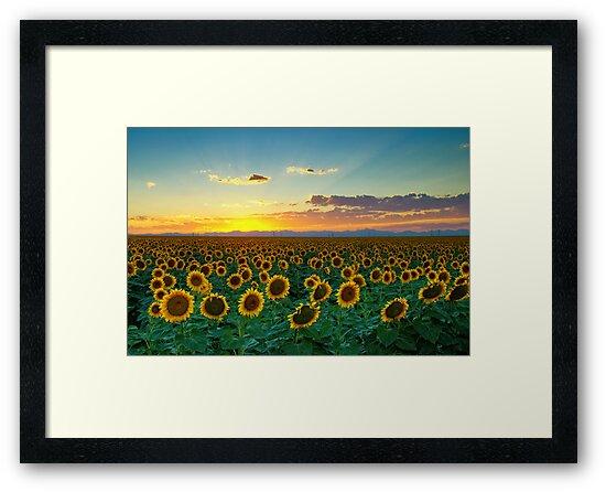 Sunflower Sea by John  De Bord Photography