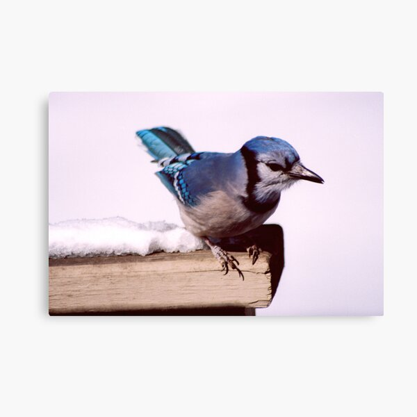 Bluejay Posing For A Nut Canvas Print
