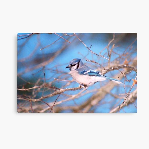 Blue Skies And Bluejays Metal Print