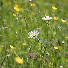 Wild Meadow by John Dunbar