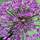 Purple flower by Tracey Hudd