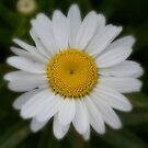 Daisy flower center detail macro  by Jason Franklin
