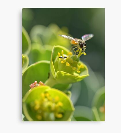 bee in flight color detail shot flowers Canvas Print