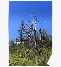 Old Birch Tree Poster