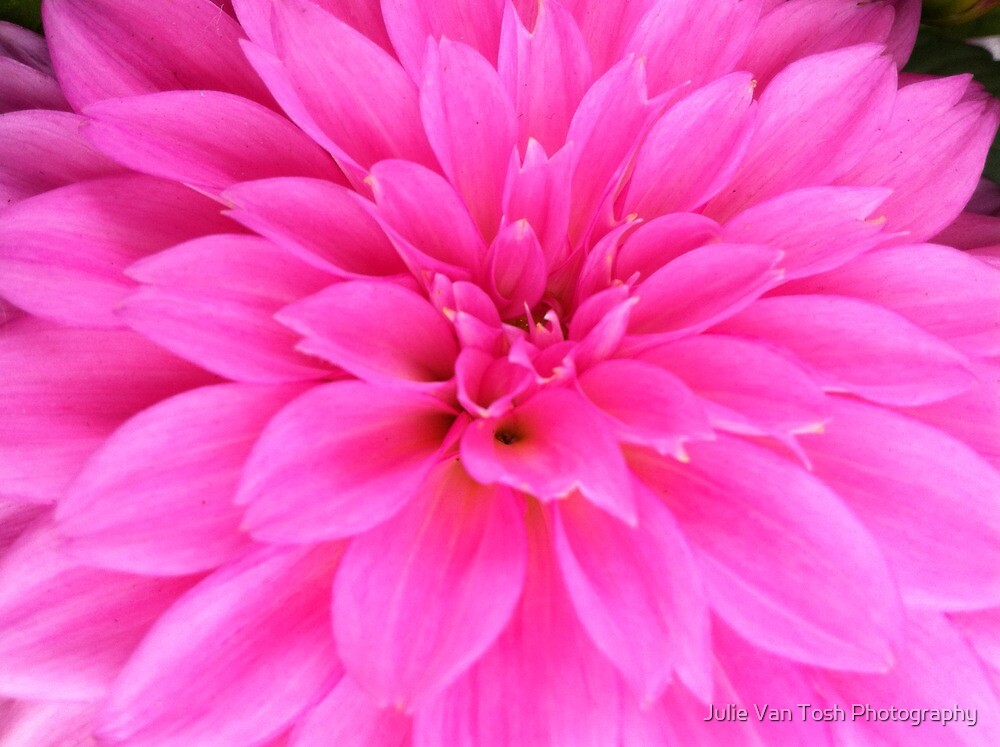 Dahlia pink by Julie Van Tosh Photography