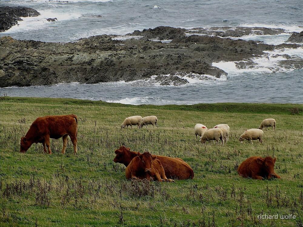 South Devon Prawle Point Livestock Grazeing Late Summer by richard wolfe