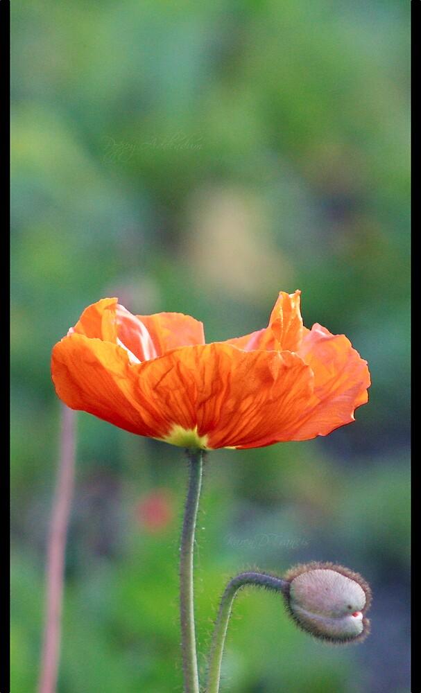 Poppy Addendum by karendfrancis