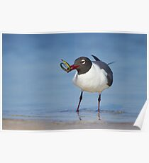 Laughing Gull Catching Pipefish. Poster