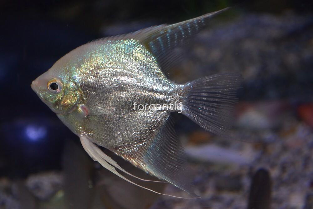 Silver fish - Melbourne Aquarium by forgantly
