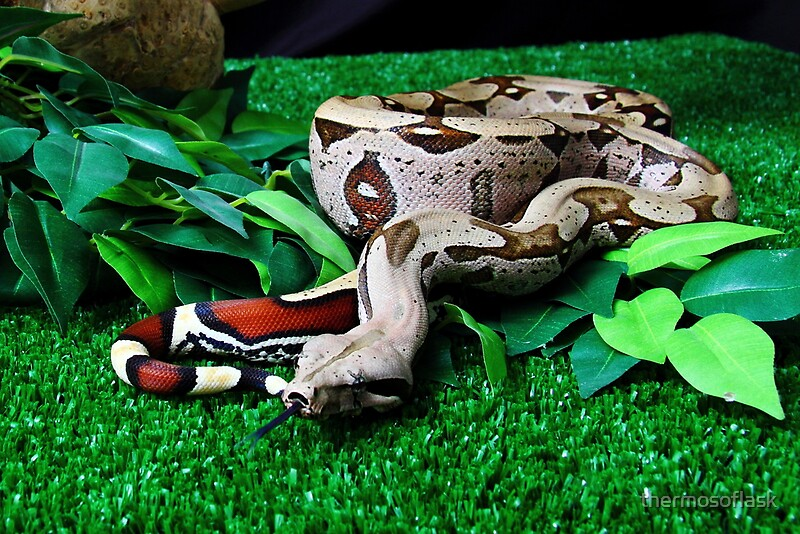 Quot Red Tailed Suriname Boa Constrictor Quot Posters By