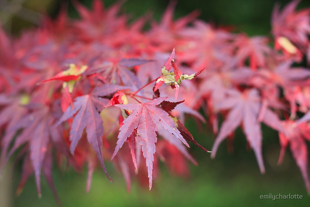 Red momiji by emilycharlotte