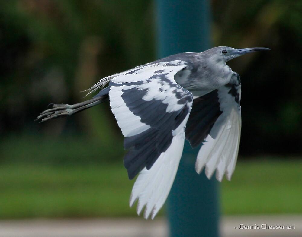 Juvenile little blue heron by Dennis Cheeseman