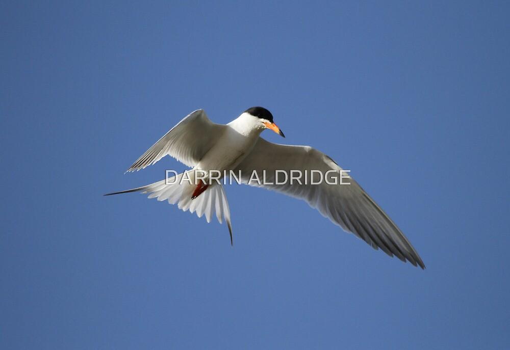 Artic Tern Up Close In Flight by DARRIN ALDRIDGE
