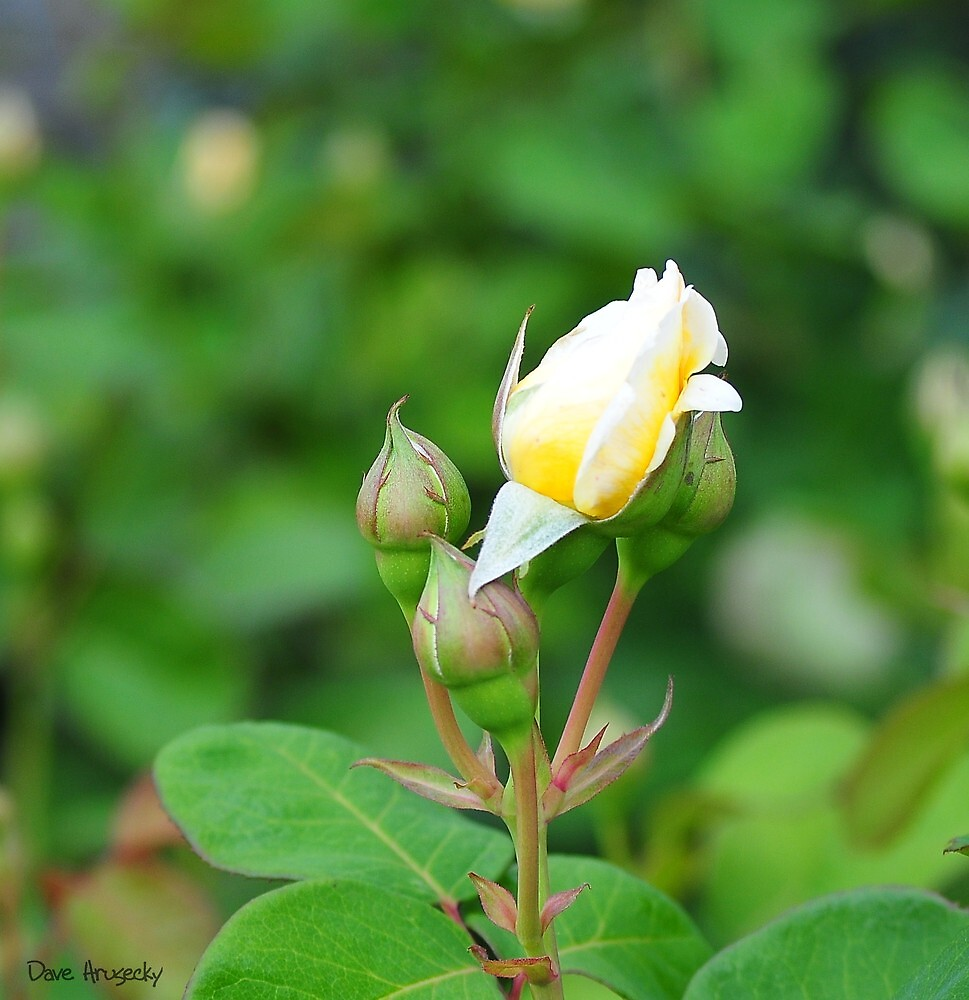 Yellow rose bud......Longwood Gardens by DaveHrusecky