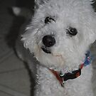 Snowflurry the Bichon Frise by mxl5213