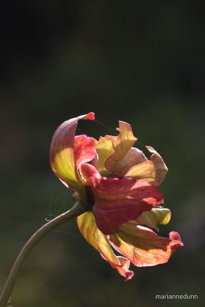 Sunshine on flower by mariannedunn