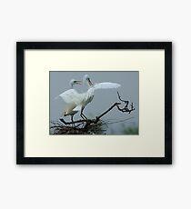 Great White Egrets Framed Print