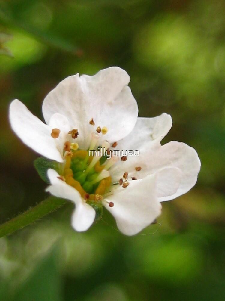 white orange blossom by millymuso