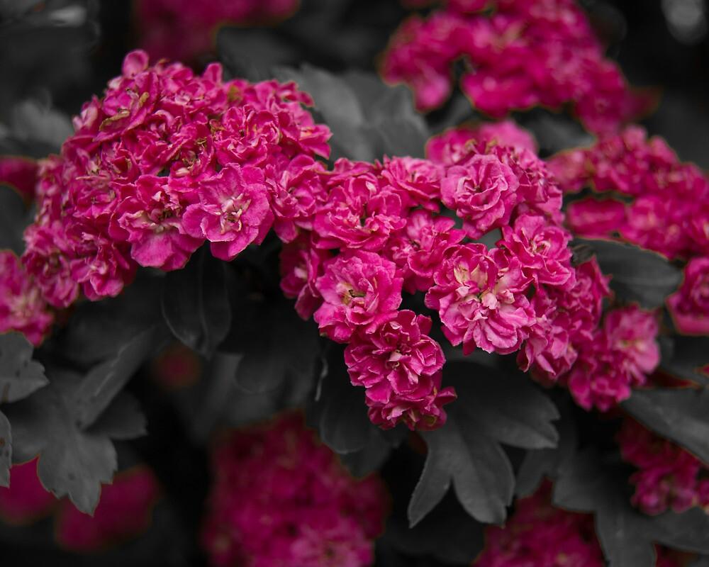 Hawthorne Flowers by tahigens