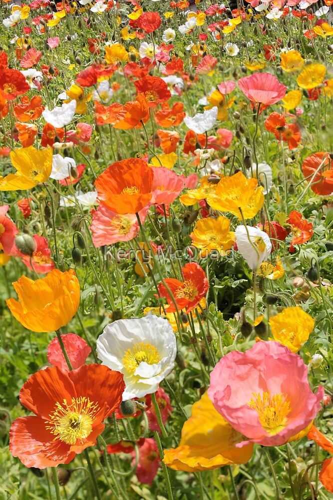Poppy Field, Orange Pink White and Yellow flowers by Kerry McQuaid