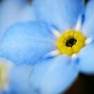 Forget-Me-Nots 5 by photonista