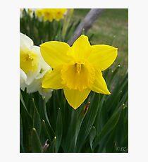 Daffodils! Photographic Print