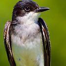 Eastern Kingbird Close Up Portrait by John Absher