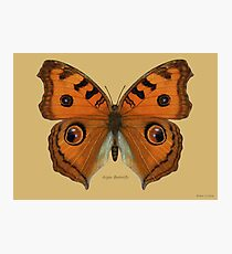 Argus Butterfly Photographic Print
