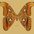 Atlas Butterfly (moth) by Walter Colvin