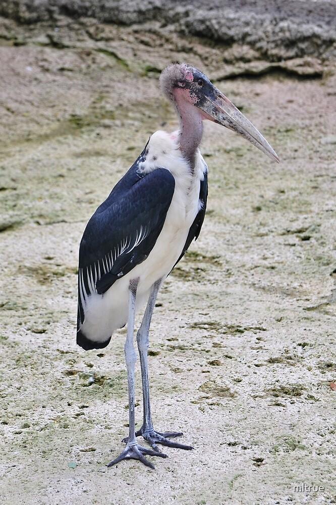 Maribou Stork by mltrue
