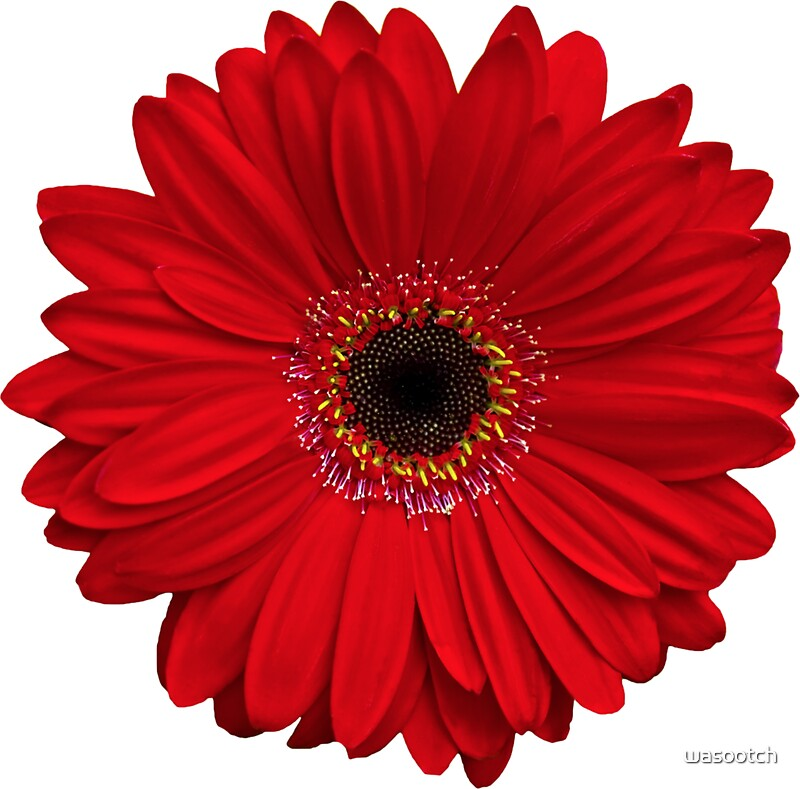 "red gerbera gerber daisy flower floral sticker"" stickers by, Natural flower"